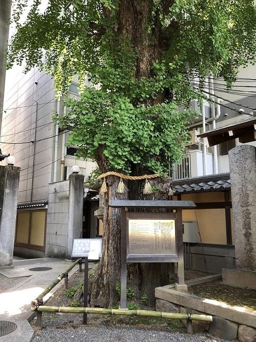 本能寺の「火伏せのイチョウ」の木